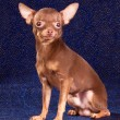 Russian toy terrier — Stock Photo