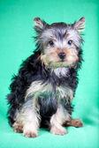 Yorkshire terrier yavrusu — Stok fotoğraf