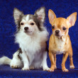 Two Chihuahua - Stok fotoraf