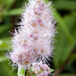 Pink Spirea — Stock Photo