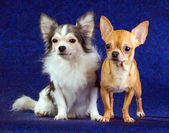 Two Chihuahua — Stock Photo