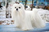 Maltese Dog — Zdjęcie stockowe