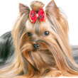 Yorkshire Terrier — Stock Photo #4949722