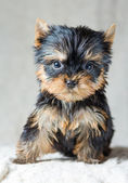 Yorkshire terrier valp — Stockfoto