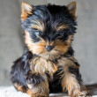 Yorkshire Terrier Puppy - Stock Photo
