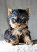 Yorkshire Terrier Puppy — Стоковое фото