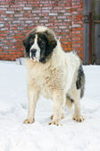 Pyrenean Mastiff — Stock Photo