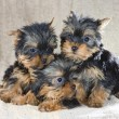 Yorkshire Terrier puppies - Stok fotoraf
