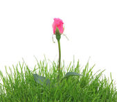 Pink rose in a grass isolated on the white — Stock Photo