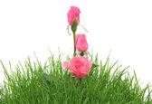 Roze rozen in een gras geïsoleerd op de witte — Stockfoto