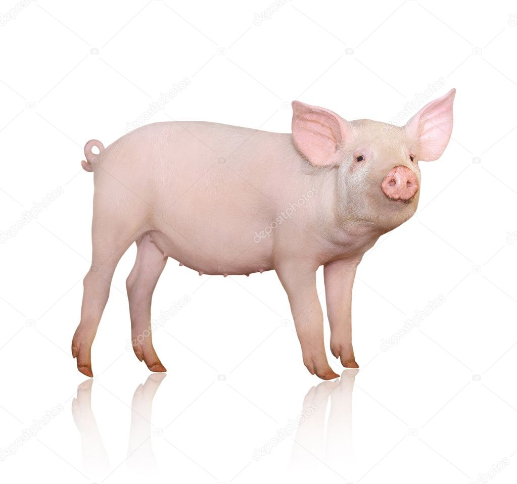 Pig who is represented on a white background  — Stock Photo #3937871