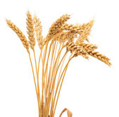 Isolated bunch of wheat — Stock Photo