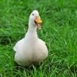 White Duck on grass — Stock Photo