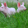 Small pigs — Foto de Stock