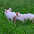 Small pigs — Stock Photo