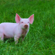 Stockfoto: Small pigs