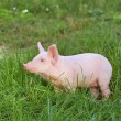 Small pig — Stock Photo #4559006