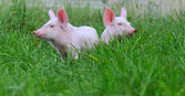 Small pigs — Foto Stock