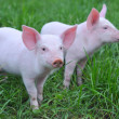 Small pigs — Stock Photo #4569316