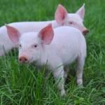 små grisar — Stockfoto