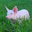 Small pig — Stock Photo