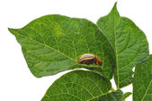Potato Bug — Stock Photo