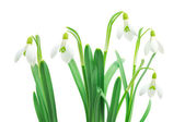 Snowdrops (Galanthus nivalis) on white background — Stock Photo