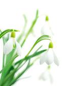 Snowdrops (Galanthus nivalis) on white background — Photo