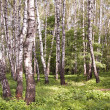 Birchwood in sunny day — Stock Photo