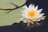 White water-lily with reflection — Stock Photo