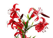 Red tiger lily — Stock Photo