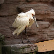 Stock Photo: White bird with large beak