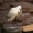 White bird with large beak — Stock Photo
