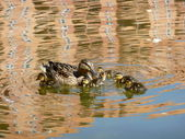 Ducklings with mother — Stock Photo