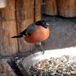 Stock Photo: Bullfinch at feeding trough