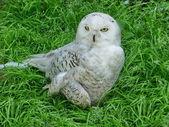 Owl on grass — Stock Photo