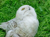 White owl — Stock Photo
