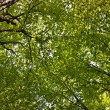 Tree foliage looking-up — Stock Photo