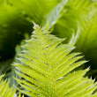 Fern frond — Stock Photo