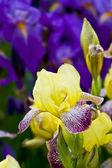 Blaue und gelbe iris — Stockfoto