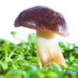 Mushroom in grass — Stock Photo