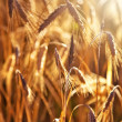 Wheat close-up — Stock Photo