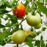 tomates em um galho em uma estufa — Foto Stock