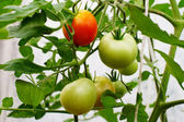 Tomatoes on a branch in a hothouse — Stock Photo