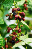 Branch with blackberry berries — Stock Photo