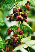 Větev s blackberry bobule — Stock fotografie