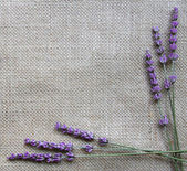 Lavender flowers on sackcloth background — Stock Photo