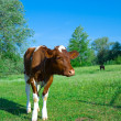 Elitnye cows give much meat and milk. — Stock Photo #4459915