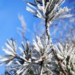 Pine tree branches — Stock Photo #4190395