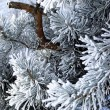 Pine tree branches — Stock Photo #4191941